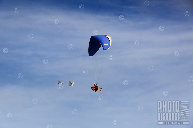 A paraglider with two birds soaring over O'ahu.