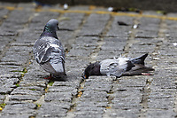 "Pictured: A male pigeon looks as if he mourns the loss of his partner in Wind Street, Swansea, Wales, UK. <br /> Re: A man who had just bought his first camera and long lens captures moment feral pigeon mourns the death of its partner.<br /> 30 year old Jonathan Thomas had just unpacked his brand new Canon camera and lens and was out taking pictures to test it.<br /> ""I was walking up and down Wind Street in Swansea when I saw a pigeon walking back and forth with the corner of my eye""<br /> ""It just looked unfazed because passing cars and people didn't seem to scare him off""<br /> ""I then noticed another dead pigeon lying nearby""<br /> ""It was heartbreaking and looked as if he was trying to revive her, as if he wouldn't accept his partner's death""<br /> ""Other people noticed me and started looking at the birds too, it was so moving""<br /> ""You could see him trying to revive the other pigeon, pecking her gently, moving her with its leg""<br /> ""At some point he climbs on top and it was as if he was trying to carry her away""<br /> ""I was almost in tears, pigeons get such bad publicity but later I discovered they stick to one partner for life"".<br /> ""I was there for about 45 minutes in the early afternoon, then returned after an hour or so to still see them both there""<br /> ""I couldn't bear going back again, it was quite upsetting"""