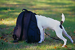Jack Russell Terrier with head in backpack