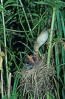 Marsh Warbler, Acrocephalus palustris, adult at nest with young, Dersbach, Switzerland, June1995