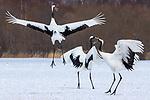 Red-crowned cranes, Hokkaido, Japan