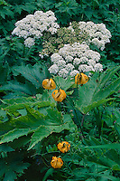 Tiger Lily and cow-parsnip<br /> Mt. Angeles Road,  Hurricane Ridge<br /> Olympic National Park<br /> Olympic Mountains,  Washington