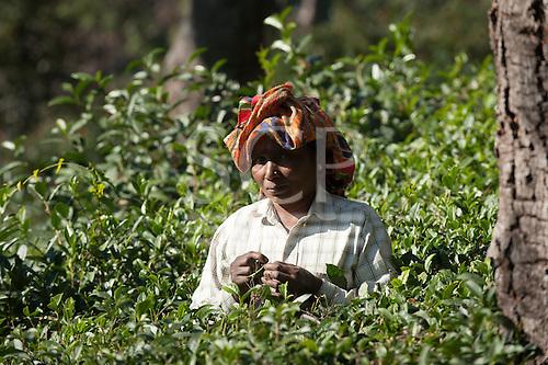 Dharamsala, Himachal Pradesh, India. Tea picker.