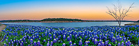 Texas Bluebonnets at the Lake Sunset Pano  - We came to this location along the water several times to capture both sunrise and sunset of these wonderful bluebonnet wildflowers at the lake edge.  Capturing good bluebonnets is a matter of luck many times and we were lucky that this area had bluebonnet wildflowers again after the lake went back down which allowed them to come back.  We like this little leafless tree that was positioned along the waters edge and decided to use it in our capture.  The Texas hill country dry river bed came back to life this year after the waters went down along the colorado river and this field of bluebonnets popped up.  It was delightful to see the field of wildflowers again not as much as the first time years ago, but still wonderful.  Spring time in the Texas hill country can be magical when fields of wildflowers appear in great numbers.  We live not far from here so we came here many times till word got out and the bluebonnet got trampled down. The texas hill country has been one of the best places to capture pictures of bluebonnets landscapes in the past and we can only hope forever. Taking pictures of bluebonnets is one of our favorite things to capture. There are many varieties of bluebonnets in Texas from the chiso bluebonnet, to the sandyland and of course the Lupinus texensis lupine,  has been the state flower since the 1901 and all other bluebonnets were included in 1971 by the Texas Legislature which made all lupines in the state the state flower.  For most the most popular is the Lupinus texensis or texas bluebonnet which are here in the hill country which range in color from blue to violet shade depending on the light also the texas hill bluebonnets have the white tops which are known  is said to look like a bonnet.  <br /> <br /> Buy Photos by BeeCreekPhotography, Fine Art,  Buy Art Online. Wall Art. Bluebonnet Landscapes, Flowers and more...