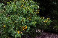 Caesalpinia mexicana: Mexican Bird of Paradise flowering in Fullerton Arboretum, Southern California