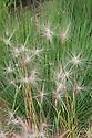 Pale feathery flower spikes of Hordeum jubatum (Foxtail barley, Mouse barley) and upright green foliage of Molinia caerulea subsp. caerulea 'Moorhexe' (Purple moor grass), mid July.