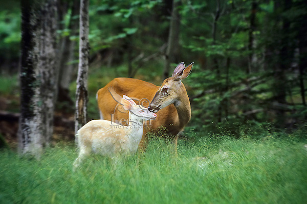 Albino White-tailed Deer Fawn with normal colored mother.  Summer.  Great Lakes area.