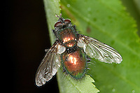 Blaugrüne Raupenfliege, Gymnocheta viridis, Gymnochaeta viridis, Raupenfliegen, Schmarotzerfliegen, Tachinidae, tachinid fly, tachinids, parasitic flies