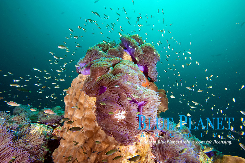 Reef scene with anemones, koh samui