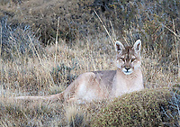 A female puma sits at attention at dusk in Torres del Paine.