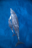 bottlenose dolphin, Tursiops truncatus, mother and baby calf, bowriding, Fernandina Beach, Florida, Atlantic