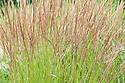 Calamagrostis × acutiflora, early July. Commonly known as Feather reed-grass.