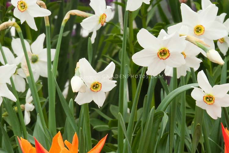 spring bulbs Tulips, Paperwhite narcissus Actaea and Tulipa Ballerina