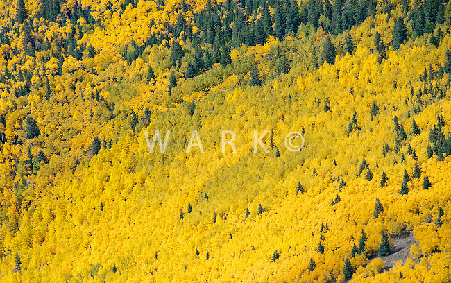 Heavy Aspen slope in fall color