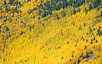 Heavy Aspen slope in fall color