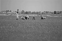 """Nelle provincie di Novara e Vercelli si concentra , storicamente, la maggior produzione in Italia di riso.<br />  Le """"mondariso"""", le mondine, ora sono immigrate cinesi che da giugno a settembre ripuliscono i campi allagati dalle piante infestanti che nemmeno i diserbanti sono in grado di riconoscere.<br /> In north Italy the rice'culture is very estendet, in Novara and Vercelli' provinces.<br /> Each year come from China many women to work in the rice-fields."""