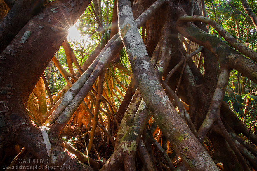 Aerial tree roots, lowland rain forest. Masoala Peninsula National Park, north east Madagascar.