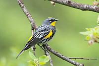 "Adult male ""Audubon's"" Yellow-rumped Warbler in breeding plumage. Kittitas County, Washington. May."