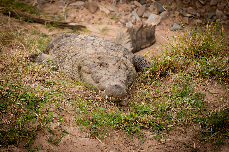 Nile crocodile or African crocodile are the largest crocodile in the world. Males can weigh close to 2000 pounds.  The average length of an adult males is 16 feet but if circumstances are ideal, can grow up to 19 feet long.  Basking is important as a way to regulate temperature in the cold blooded creature..