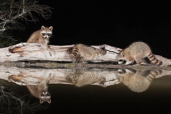 Northern Raccoon (Procyon lotor), adults at night on log, Sinton, Corpus Christi, Coastal Bend, Texas, USA
