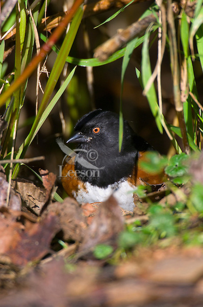 Spotted Towhee (Pipilo maculatus).  Pacific Northwest.