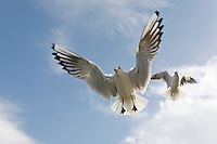 Black-headed gulls (larus ridibundus), in winter plumage, hovering in air and begging for food