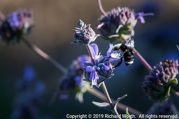A bumblebee working  on a purple flower, Cleveland Sage, its wings still for the moment.