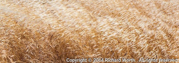 Dry golden grass waves in the breeze.  Image cropped to 8.5X3.