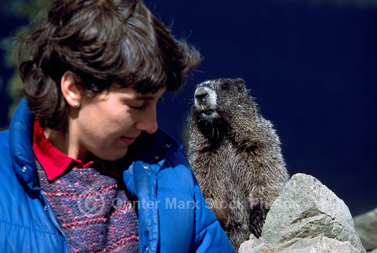 Woman with Curious Hoary Marmot (Marmota caligata) basking on Rock, Manning Provincial Park, BC, British Columbia, Canada (Model Released for Person)