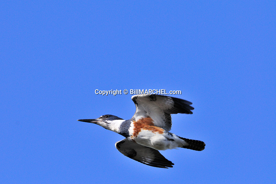 00699-009.11 Belted Kingfisher female in flight against a blue sky.  Lake, river, fish.