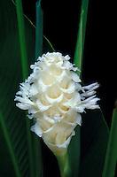 A bract of White Ice calathea (Calathea cylindrica) and foliage against a black background