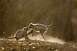 Hanuman Langurs (Semnopithecus entellus) play fighting. Bandhavgarh National Park, India.