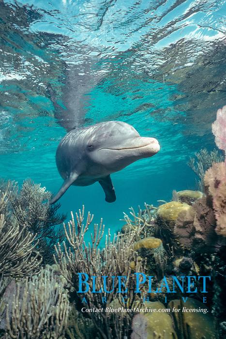 "common bottlenose dolphin, Atlantic bottlenose dolphin, Tursiops truncatus, ""Honey"", a wild, lone, sociable dolphin, in coral reef, Beliize Barrier Reef, Belize, Caribbean Sea, Atlantic Ocean"