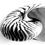 Black and white nautilus shell photography