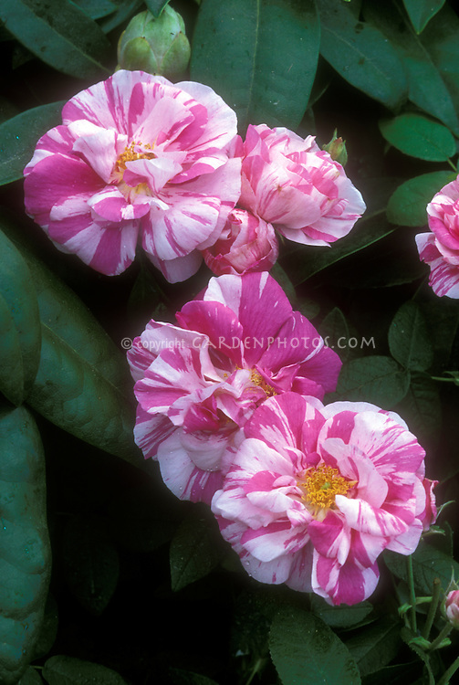 Rosa gallica 'Versicolor' aka ' Rosamundi' (Apothecary rose) example of jumping genes (several roses and buds with foliage)