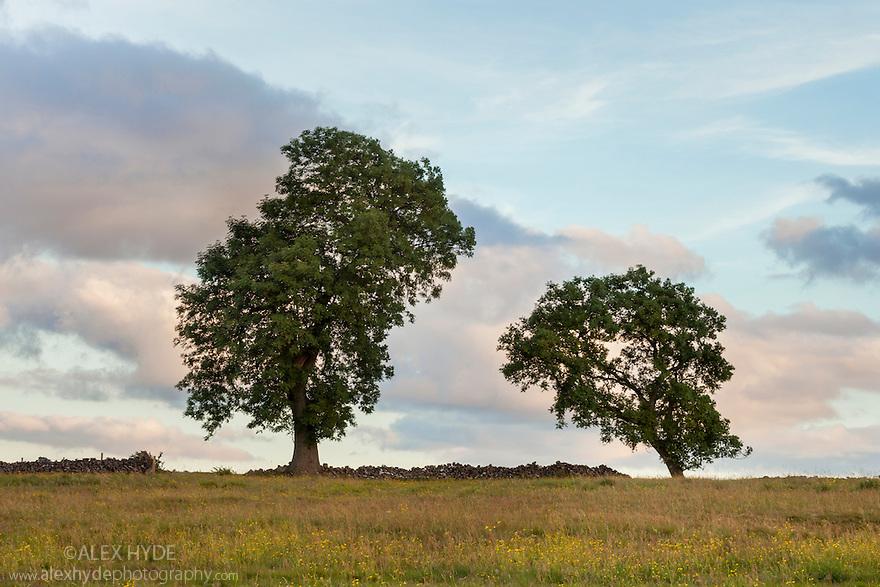 Ash trees {Fraxinus excelsior}, Peak District National Park, UK, Derbyshire. July.
