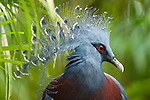 Victoria Crowned Pigeon (Goura victoria) from swamp and sago palm forest areas in northern New Guinea (captive).