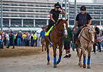 LOUISVILLE, KY - MAY 03: Justify, trained by Bob Baffert, returns to the barns after exercising in preparation for the Kentucky Derby at Churchill Downs on May 3, 2018 in Louisville, Kentucky. (Photo by Scott Serio/Eclipse Sportswire/Getty Images)