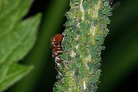 Ameise in einer Blattlaus-Kolonie, Symbiose, Knotenameise, Myrmica spec., Knotenameisen, Myrmicinae, red myrmicine ants