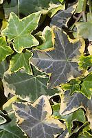 Hedera helix Golden Ingot ivy