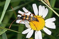 Schlanker Schmalbock, Blütenbesuch, Strangalia attenuata, Typocerus attenuata, Leptura attenuata, Bockkäfer, Schmalböcke, Lepturinae