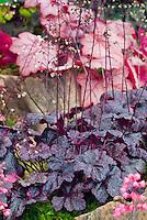 Heuchera Midnight Rose in flower bloom, purple and pink speckled leaf foliage plant