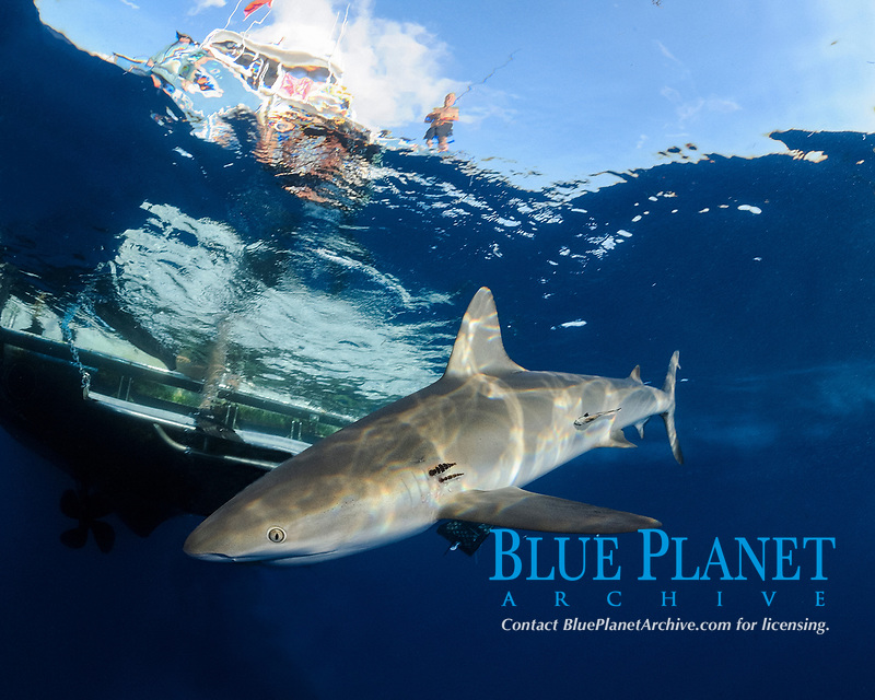 Gray reef shark, Carcharhinus perezii, passes by boat near surface, with man and fishing pole, Little Bahama Bank, Bahama Islands, Bahamas, Caribbean, Atlantic