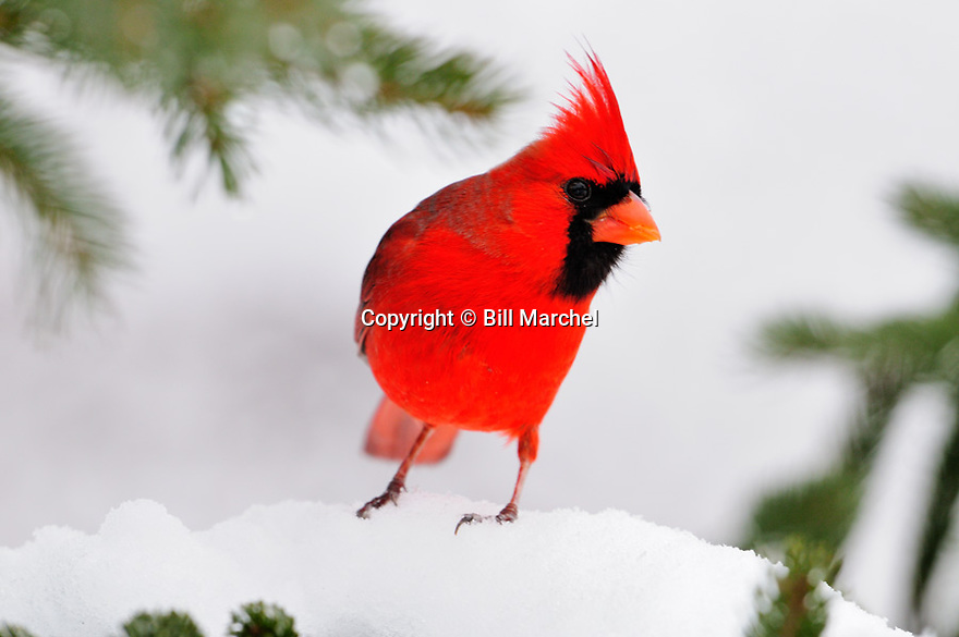 00132-001.17 Northern Cardinal male is perched on snow covered spruce tree during winter.  Red, color, songbird, birding.