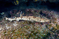 White-saddled Catshark, Scyliorhinus hesperius. A deepwater scyliorhinid shark from Guatemala, Honduras, Panama, and Colombia. Atlantic Ocean