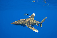 oceanic whitetip shark, Carcharhinus longimanus, with two small sharksucker or remoras, and accompanied by a pair of pilot fish, Naucrates ductor, Kona Coast, Big Island, Hawaii, USA, Pacific Ocean