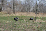 Turkey Hunting - Blind/Decoys