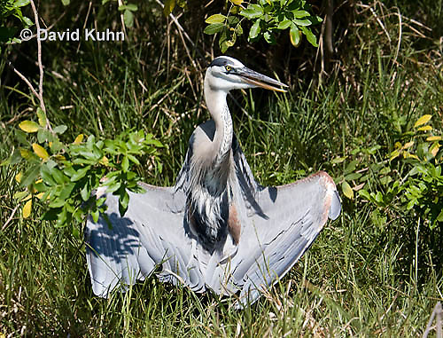 0829-0911  Great Blue Heron, Promoting Temperature Regulation with Wings, Ardea herodias © David Kuhn/Dwight Kuhn Photography