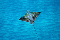 Spotted Eagle Ray; Aetobatus narinari