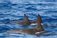 The dorsal fins of three pygmy killer whales, Feresa attenuata, Big Island, Hawaii, USA, Pacific Ocean